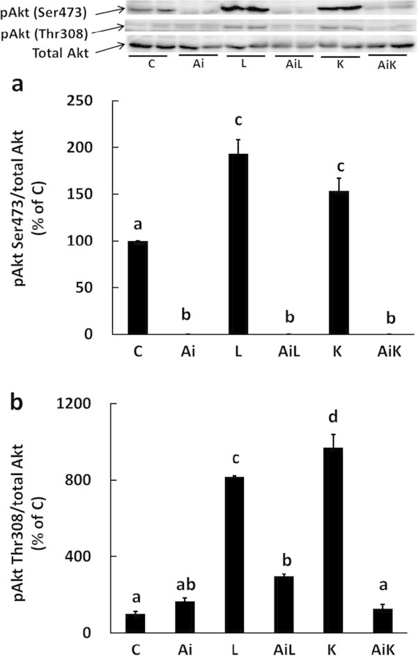 Lys induces phosphorylation of Akt in C2C12 myotubes. C2C12 myotubes were treated for 30 min with DMSO (C), 10 μM Akti (Ai), 10 mM Leu (L), 10 mM Leu and 10 μM Akti (AiL), 10 mM Lys (K), or 10 mM Lys and 10 μM Akti (AiK). The phosphorylation level of Akt Ser473 (a) and Akt Thr308 (b) in the lysates was analyzed by Western blotting. Results are expressed as the level relative to the expression level of the control group. Representative immunoblots are shown. Values are means with SE (n = 3–4). Different letters indicate significant differences among the groups (p