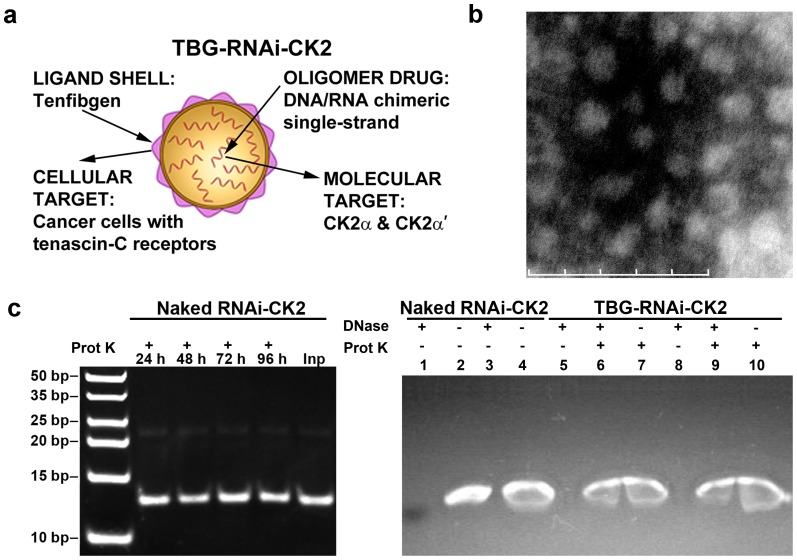 Nanocapsule design, morphology, cargo stability, and cargo protection. ( a ) Cartoon depiction of nanocapsule design. ( b ) Transmission electron micrograph of s50-TBG-RNAi-CK2 nanocapsules for in vivo studies. Magnification 230,000×. Scale bar 100 nm. ( c ) Left panel: Naked RNAi-CK2 oligomer was digested with proteinase K for 24 to 96 h. Inp, undigested input oligomer. Right panel: Naked and s50-TBG encapsulated RNAi-CK2 oligomers were digested with DNase followed by proteinase K as indicated above the panel. Lanes 1 2, naked RNAi-CK2; 3 4, naked RNAi-CK2 with TBG-sugar nanocapsules included in the digestion; 5 - 7, in vitro use formulation of s50-TBG-RNAi-CK2; 8 – 10, in vivo use formulation of s50-TBG-RNAi-CK2.