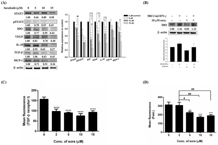 Restoration of immunosuppressive factors in E.G7 cells by sorafenib. (A) (Left panel) Expressions of immunosuppressive factors were assayed by Western blotting, and (right panel) their quantitative results. IDO, VEGF, IL-10 and TGF-βwere decreased in a dose-dependent manner in E.G7 cells treated with 5–15 µM sorafenib for 24 hours. In addition, expressions of pSTAT3 and CCL2/MCP-1 also were decreased. (B) Expression of IDO in E.G7 cells treated with exogenous IFN-γto mimic the tumor-bearing animal model. Sorafenib decreases both endogenous and exogenous IDO expressions. (C) Expression of TGF-βreceptor I was assessed by flow cytometry. TGF-βreceptor I was significant decreased after 2–15 µM sorafenib treatments. (D) Survival of CD8+ T cells would affect the therapeutic outcome of ACT, and apoptosis of CD8+ T cells is mainly through Fas/Fas ligand (FasL) pathway. Thus, expression of FasL was assayed by flow cytometry, and the expression of FasL was suppressed in E.G7 cells by sorafenib. The experiments were repeated more than three times, and one of the representative was shown here. (* as compared with that of vehicle, *p