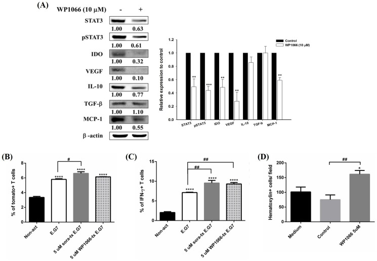 WP1066, an STAT3-specific inhibitor, was used to clarify the role of STAT3 in immunosuppressive microenvironment. (A) (Left panel) Expressions of IDO, VEGF, IL-10, and CCL2/MCP-1 were assayed with Western blotting, and (right panel) their quantitative results. All proteins were suppressed after treated with WP1066. (B, C) Expressions of tomato fluorescent protein and intracellular IFN-γwere assayed by flow cytometry. Significantly higher tomato fluorescent protein and IFN-γsignals were found in CD8+ T cells co-cultured with sorafenib and WP1066-treated E.G7 cells, respectively. (D) Effect of WP1066 on migration of CD8+ T cells was evaluated with transwell assay. More migratory CD8+ T cells were found in WP1066-treated E.G7 cells. The experiments were repeated three times, and one of the representative was shown here. (* p
