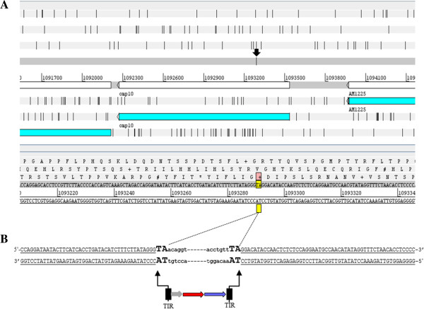 Characterization of Himar1 transposon insertion site. A . Artemis (genome browser and annotation tool) window showing the A. marginale genome (CP000030) used as a reference for the location of the omp10 gene ( AM1223 , 1092273–1093555), and the TA dinucleotide (1093290–1093291) at the Himar1 tn insertion site (arrow) determined by high throughput genome sequencing analysis. B . Himar1 tn insertion into the omp10 gene was mediated by the A7 transposase in a cut and paste mechanism leading to the duplication of TA dinucleotide sequences. A. marginale genome (underlined uppercase text, TA dinucleotide duplications (enhanced uppercase text) flanking the tn elements (bold lowercase).