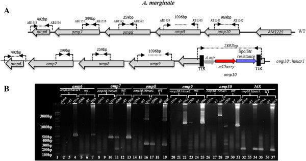 Transcriptional analysis of the effect of the insertion of the Himar1 transposon within the omp10 gene by RT-PCR. A . Binding sites of primers (AB1553-AB1554), (AB1555-AB1556), (AB1591-AB1592), (AB1559-AB1560), and (AB1561-AB1562), designed to amplify transcripts on omp6, 7, 8, 9 and 10 , respectively, in wild-type (WT) and o mp10::himar1 mutant. Complementary DNA from WT and o mp10::himar1 mutant grown in ISE6 tick cells was used for PCR amplification for o mp6 through 10 with specific primers to evaluate gene expression. B . Agarose gel analysis of PCR products for omp6 through 10 in omp10::himar1 mutant (lanes 2, 8, 14, 20, and 26). PCR products for o mp6 through 10 in WT (lanes 5, 11, 17, 23, and 29). Genomic DNA was used as positive control (lanes 4, 7, 10, 13, 16, 19, 22, 25, 28, and 31). Complementary DNA from reactions without reverse transcriptase were used as negative controls (lanes, 3, 6, 9, 12, 15, 18, 21, 24, 27, and 30). 100 bp/1Kb DNA ladder lane 1). 16S rRNA (AB1572-AB1573) was used as an internal control to ensure integrity of cDNA (lanes 32–37).