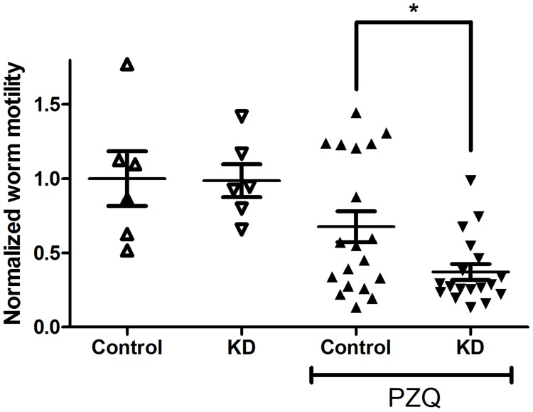 Suppression of S. mansoni ABC transporter expression enhances responsiveness of adult worms to PZQ. Adult schistosomes were electroporated with siRNAs targeting luciferase (Control) or the S. mansoni ABC transporters SMDR2, SmMRP1, ABCA4, ABCB6, and MRP7/ABCC10 (KD), as described in Materials and Methods . Following <t>electroporation,</t> worms were incubated in schistosome medium for 2 days, and then sorted into 2–3 worm pairs per well in a 12-well plate. They were then incubated in medium alone plus 0.5% DMSO, or in medium plus 800 nM PZQ, as described in Fig. 1 , and subsequently analyzed for motility. n = 6 for the experiments without PZQ and n = 18 (KD) or 19 (Control) for the experiments in PZQ. Motility was measured as in Fig. 1 , and results for individual worms are plotted. ** indicates P