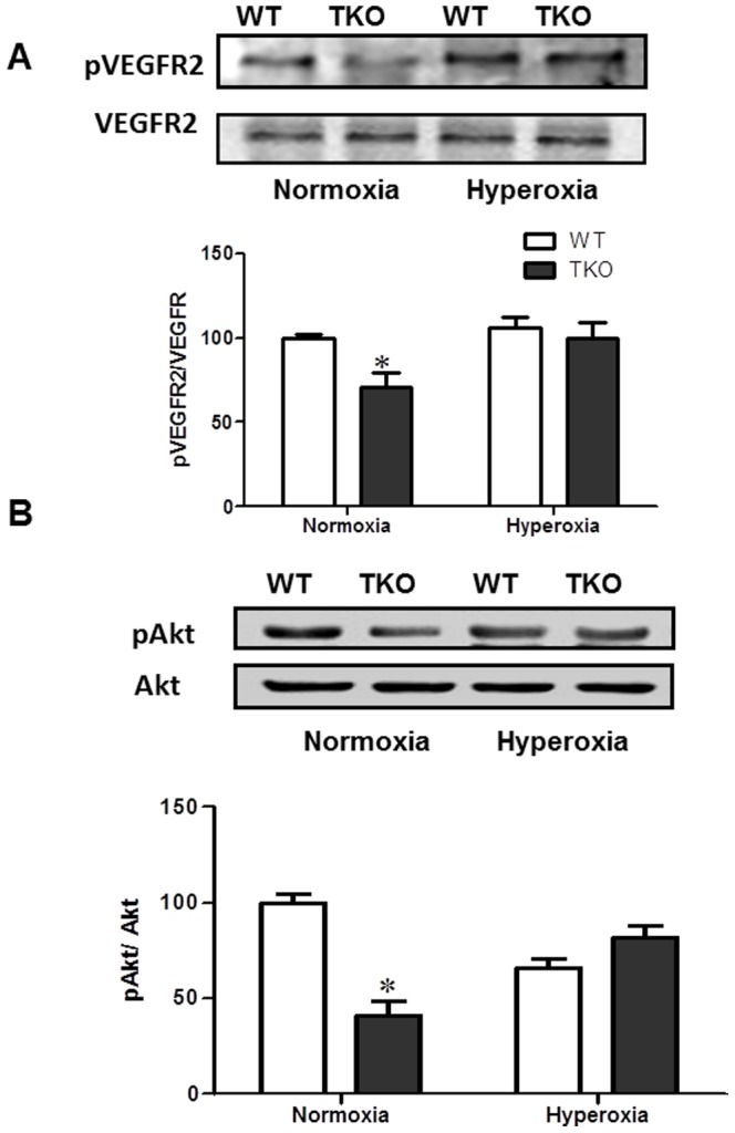 Deletion of TXNIP does not alter <t>VEGFR2/Akt</t> activation under hyperoxia. Wild type (WT) and TXNIP knockout (TKO) mice were subjected to hyperoxia (75% O2, p7–p12). Activation of VEGFR2 ( A ) and Akt ( B ) were examined as downstream signal of <t>VEGF</t> in p12 WT and TKO retinas. TKO showed significant decrease in phosphorylation of VEGFR-2 and Akt compared to WT under normoxic condition. We did not detect significant change in the activation of VEGFR2 and its downstream Akt in retinas from TKO and WT in response to hyperoxia. (*P