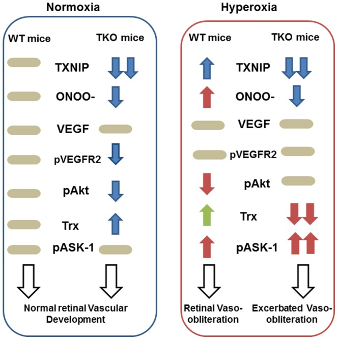 Representative diagram shows the impact of TXNIP deletion on retina vasculature under both normoxia and hyperoxia. Under normoxia, retinas from TXNIP-deficient mice showed similar VEGF levels, less peroxynitrite (ONOO-) levels, less VEGF receptor-2 (pVEGFR2) activation and upregulated thioredoxin (Trx) that collectively lead to normal vascular development in comparison to WT mice. Under hyperoxia, retinas from WT mice showed higher peroxynitrite formation, less survival Akt activation (pAkt) and upregulated proapoptotic signal of ASK-1 resulting in vaso-obliteration. Retinas from TKO although showed less peroxynitrite levels and maintained Akt activation, retinas experienced significant decreases in thioredoxin (Trx) that shift the balance of the ASK-1-Trx inhibitory complex and increases the activation of the proapoptotic ASK-1 pathway leading to exacerbated vasoobliteration compared to WT.