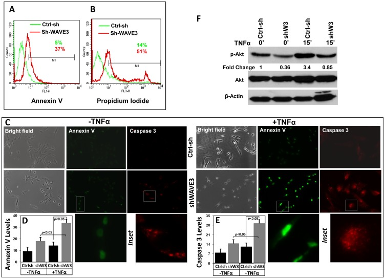 Down-regulation of WAVE3 sensitizes MDA-MB-231 cells to TNFα induced apoptosis through Akt signaling. Representative histograms using flow cytometry of control shRNA (ctrl-sh, green)- or sh-WAVE3-expressing (red) MDA-MB-231 cells after TNFα treatment stained by Annexin V for apoptosis (A) and by Propidium Iodide for cell death (B). (C) Representative confocal images of Ctrl-sh and sh-W3 MDA-MB-231 cells stained Annexin V (Green) and cleaved caspase3 (Red) before and after TNFα treatment (50 ng/μl for 15 min). The bright field images in the right panels indicate healthy cells. High resolution enlarged images are shown in the insets. (D E) Quantification of Annexin V staining levels (D) and Caspase 3 staining levels. (F) Western blot analysis with the indicated antibodies of cell lysates form the Ctrl-sh and sh-W3 cells after treatment with TNFα at the indicated times. The numbers below the p-AKT and the p-p38 panels indicate their respective fold change with respect to the untreated Ctrl-sh cells. All data are representative of 3 independent experiments, or are the mean (±SE; n = 3; *, p