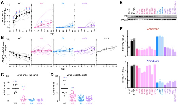 Dynamics of HIV-1 vif mutant infection in humanized mice. (A and B) The virus solutions containing 5 ng of p24 antigen (WT HIV-1 [n = 7], 4A HIV-1 [n = 11], 5A HIV-1 [n = 12], and 4A5A HIV-1 [n = 8]) or RPMI 1640 (n = 3; for mock infection) were inoculated into humanized mice, and the amount of viral RNA in plasma (A) and the level of peripheral CD4 + T cells (CD45 + CD3 + CD4 + cells) (B) were analyzed at 0, 1, 2, 3, 5, and 6 wpi. The averages are shown in circles with SEMs, and the values from each mouse are shown by line. X-axes, wpi. In panel A, the detection limit of HIV-1 RNA is 800 copies/ml plasma. (C) Area under the curve (AUC). AUCs of the VL of the mice infected with WT HIV-1 (n = 7), 4A HIV-1 (n = 11), 5A HIV-1 (n = 12), 4A5A HIV-1 (n = 8) were calculated using the trapezoidal rule as described in Materials and Methods . (D) Virus replication rate. Virus replication rates of WT HIV-1 (n = 7), 4A HIV-1 (n = 21), 5A HIV-1 (n = 27), and 4A5A HIV-1 (n = 19) were estimated by using the data of VL and peripheral CD4 + T cell counts as described in Materials and Methods . In panels C and D, horizontal bars represent the averages. Asterisks represent statistically significant differences ( P