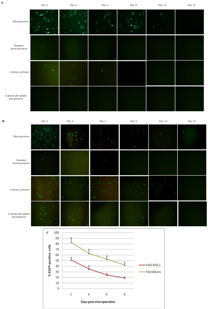 Time-course analysis of eGFP expression level in hAD-MSCs and fibroblasts. Analysis of eGFP expression of ( A ) hAD-MSCs and ( B ) fibroblasts following transfection using the microporation, standard electroporation, cationic polymer, and classical calcium phosphate precipitation techniques over a 21-day period (Magnification: ( A ) 100× and ( B ) 100×); ( C ) Evaluation of eGFP expression in microporated hAD-MSCs and fibroblasts over an 8-day period. The expression of eGFP was detected by fluorescence microscopy at days 2, 4, 6, and 8 following transfection. The number of eGFP-expressing cells began to decline over time.