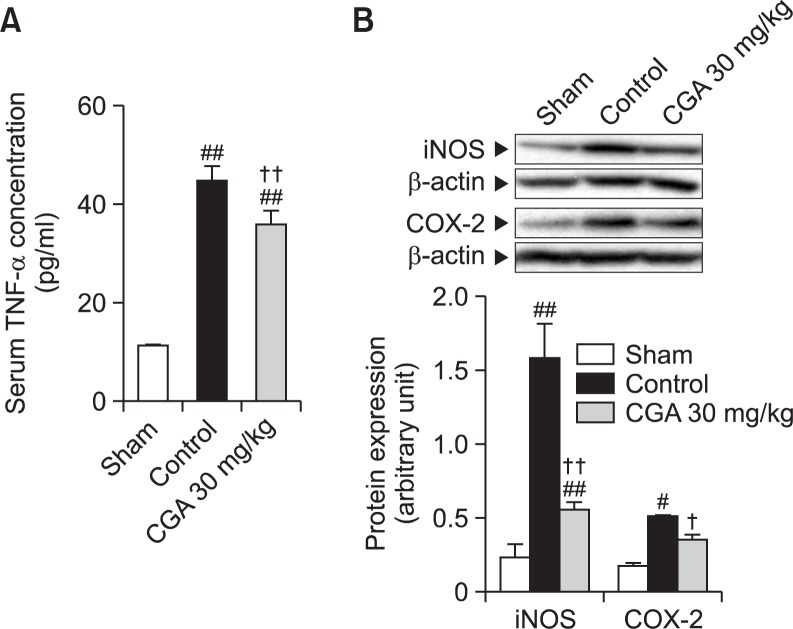 Effects of CGA on inflammatory mediators in RE. (A) The serum concentration of TNF-α was determined using an enzyme-linked <t>immunosorbent</t> assay. (B) Western blot analysis for iNOS and COX-2 was performed on whole extracts from the esophagus. Results are presented as mean ± S.E.M. of 8–10 animals per group. #,## Denote significant differences ( p