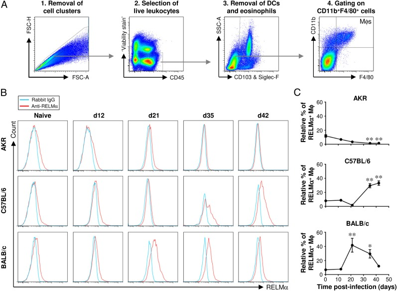 Flow cytometric analysis of lamina propria Mφs confirms the kinetics of M2 accumulation in the large intestine postinfection. Three different strains of mouse (AKR, C57BL/6, and BALB/c) were either left uninfected or infected with a high level of T. muris ova. Cells were isolated from the lamina propria of the cecum and proximal colon, stained with a panel of fluorochrome-labeled Abs, and then analyzed by flow cytometry. Live Mφs were analyzed by gating on viability stain–negative CD45 + CD11b + F4/80 + CD103 − Siglec-F − cells as shown in ( A ). Representative histogram plots of RELMα staining are shown in ( B ). Quantitative analysis of the staining is shown in ( C ). The values are the means ± SEM of five mice in each group, and the results are representative of two separate experiments. * p