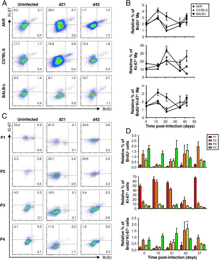 The proliferation of Mφs following infection with T. muris . AKR, C57BL/6, BALB/c, and CX3CR1 gfp/+ mice were infected with a high level of T. muris ova. Each mouse was injected with 1.5 mg BrdU 4 h before it was killed. Cells were isolated from the lamina propria of the cecum and proximal colon, stained with a panel of fluorochrome-labeled Abs, and then analyzed by flow cytometry. In AKR, C57BL/6, and BALB/c mice, live Mφs were analyzed by gating on viability stain–negative CD45 + CD11b + F4/80 + CD103 − Siglec-F − cells (as shown in Fig. 4A ). Representative plots of Ki-67 and BrdU staining are shown at selected time points postinfection ( A ). The data are shown at all time points in ( B ), where the values are the means ± SEM of five mice in each group, and the results are representative of two separate experiments. Ki-67 and BrdU staining in CX3CR1 gfp/+ mice was analyzed by gating on each of the four populations of monocytes and Mϕs (P1–P4, as defined in Fig. 5A ). Representative plots at selected time points postinfection are shown in ( C ). The gates were defined by staining with fluorochrome-labeled isotype control Abs in parallel (shown in Supplemental Fig. 3 ). The data are shown at all time points in ( D ) where the values are the means + SEM of five mice in each group, and the results are representative of two separate experiments. * p