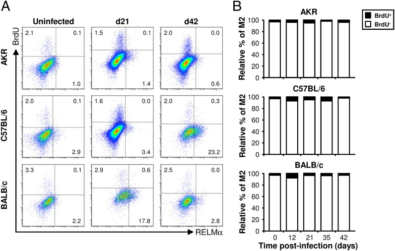 The vast majority of M2s do not proliferate. Three different strains of mouse (AKR, C57BL/6, and BALB/c) were infected with a high level of T. muris ova. Each mouse was injected with 1.5 mg BrdU 4 h before it was killed. Cells were isolated from the lamina propria of the cecum and proximal colon, stained with a panel of fluorochrome-labeled Abs, and then analyzed by flow cytometry. Live Mφs were analyzed by gating on viability stain–negative CD45 + CD11b + F4/80 + CD103 − Siglec-F − cells (as shown in Fig. 4A ). Representative histogram plots of RELMα and BrdU staining are shown at selected time points postinfection ( A ). The RELMα + cells (M2s) were then analyzed for their BrdU content: the data are shown as the relative percentage of the BrdU + and BrdU − populations at all time points postinfection ( B ). The values are the means of five mice in each group, and the results are representative of two separate experiments.