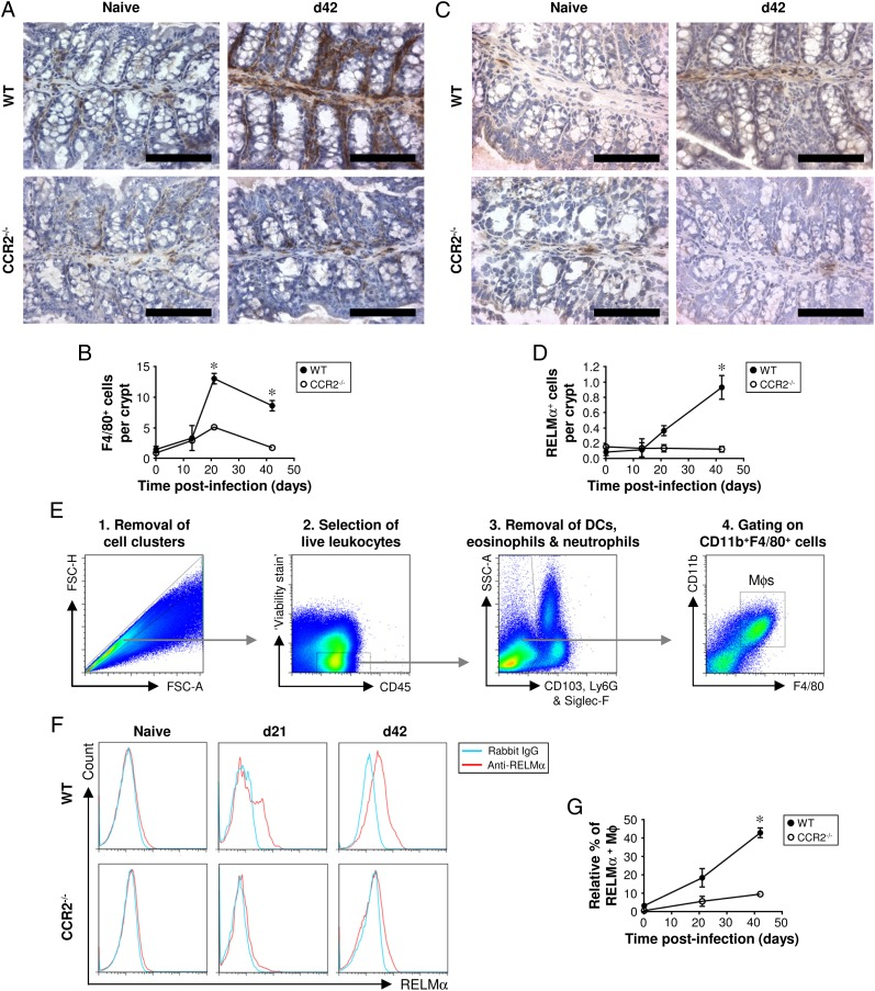 In mice lacking CCR2, the accumulation of Mφs and M2s in the colon postinfection is greatly reduced. CCR2 −/− and WT control mice (C57BL/6) were either left uninfected or infected with a high level of T. muris ova. Immunohistochemical staining of Mφs (F4/80 + cells) was conducted on sections of the proximal colon. Representative photographs of the F4/80 staining are shown in ( A ), and the quantitative analysis is shown in ( B ). Immunohistochemical staining of M2s (RELMα + cells) was also performed on sections of the proximal colon. Representative photographs of the RELMα staining are shown in ( C ), and the quantitative analysis is shown in ( D ). Scale bars, 100 μm. Cells were isolated from the lamina propria of the cecum and proximal colon, stained with a panel of fluorochrome-labeled Abs, and then analyzed by flow cytometry. Live Mφs were analyzed by gating on viability stain–negative CD45 + CD11b + F4/80 + CD103 − Ly6G − Siglec-F − cells (as shown in E ). Representative plots of RELMα staining are shown in ( F ), and the data are shown graphically in ( G ). The values are the means ± SEM of five mice in each group. * p