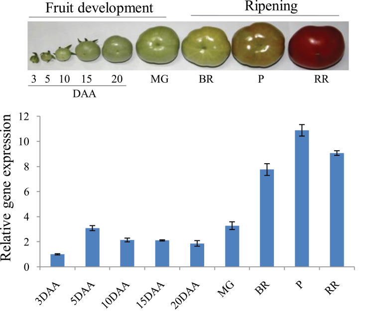 Expression profiles of β-Hex during tomato fruit development and ripening stages. Flowers were tagged at anthesis and fruits were harvested at 3 to 20 DAA and MG, BR, P, and RR stages. Transcript level of β-Hex was measured by qRT-PCR analysis using tomato actin as an endogenous control. Data are presented as the mean (±SE) of at least three biological replicates.