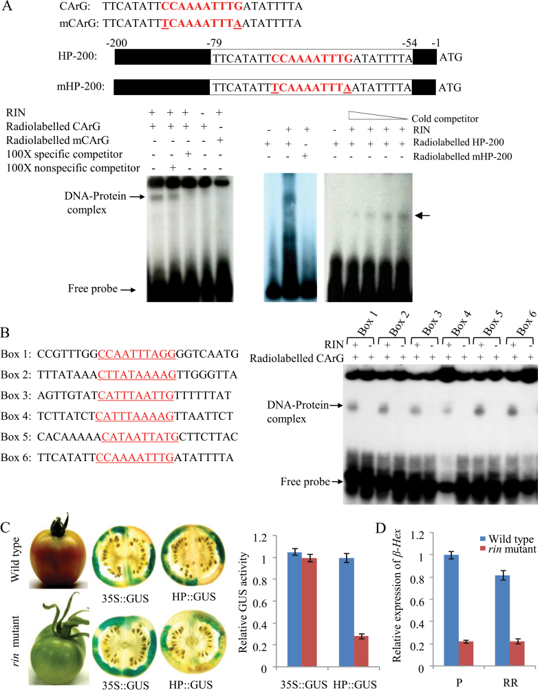 RIN-mediated transcriptional regulation of β-Hex. (A) EMSA demonstrates the formation of DNA–protein complex between RIN and tomato β-Hex promoter fragments. EMSA was performed using double-stranded radiolabelled probes containing either 26-bp or 200-bp promoter fragments with normal (CArG and HP-200) or mutated (mCArG and mHP-200) CArG box elements with their flanking sequences. Cytosine (C) and guanine (G) were replaced with thymine (T) and adenine (A), respectively, to create mutated CArG probes. Specificity of the DNA–protein complex was analysed by using competitor DNAs. Arrows indicate DNA–protein complex. (B) EMSA shows binding of RIN protein to six different CArG boxes identified within the tomato β-Hex promoter. (C) Activation of the β-Hex promoter in the wild type (cv. Ailsa Craig) and rin mutant was determined by transient expression of GUS reporter in fruits. Mature green tomato fruits were agroinjected with HP::GUS construct. Agroinjected fruits were harvested at R stage and histochemical and fluorometric GUS assays were performed. Control fruits were agroinjected with 35S::GUS construct for constitutive expression of GUS reporter driven by CaMV 35S promoter. (D) Relative expression of β-Hex in wild type (cv. Ailsa Craig) and rin mutant fruits was determined by <t>qRT-PCR</t> using actin as an endogenous control. Data are presented as the mean (±SE) of two biological replicates.