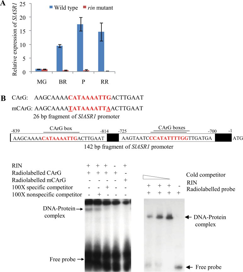 RIN regulates the expression of SlASR1 during fruit ripening. (A) qRT PCR transcript analysis of SlASR1 during ripening stages of wild type (cv. Ailsa Craig) and corresponding ages of rin mutant fruits. Data are presented as the mean (±SE) of at least three biological replicates. (B) EMSA to determine the interaction of RIN with the promoter fragments of SlASR1. Radiolabelled double stranded 26-bp (left side gel image) and 142-bp (right side gel image) fragments of SlASR1 promoter were used as probes in EMSA. The specificity of the interaction was checked by using mutated CArG box (mCArG) and an excess of specific competitor DNAs (unlabelled probes) in EMSA. This figure is available in colour at JXB online.