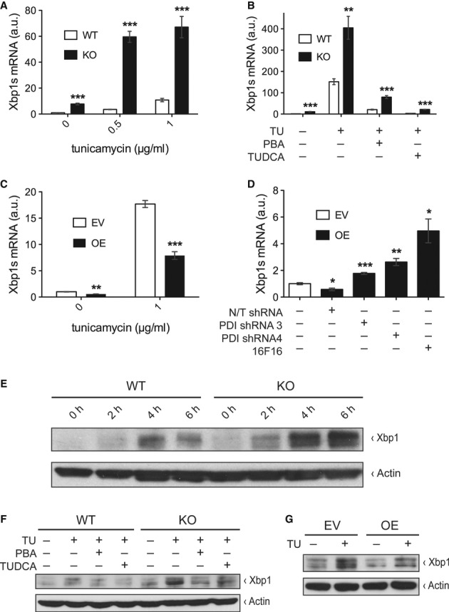 Txnip regulates Xbp1s in vitro A Relative transcript levels of Xbp1s measured by qPCR normalized to 18S in mouse embryonic fibroblasts (MEFs) from wild-type (WT) and Txnip-null (KO) mice treated with increasing concentrations of tunicamycin for 2 h ( n = 4). 0 μg/ml: *** P = 0.00004 versus WT; 0.5 μg/ml: *** P = 0.00001 versus WT; 1 μg/ml: *** P = 0.0005 versus WT. B Same as in (A) in WT and KO MEFs treated with tunicamycin and chemical chaperones PBA (20 mM) and TUDCA (5 mg/ml) for 6 h ( n = 4). TU/PBA/TUDCA −/−/−: *** P = 0.00008 versus WT; TU/PBA/TUDCA +/−/−: ** P = 0.004 versus WT; TU/PBA/TUDCA +/+/−: *** P = 0.0002 versus WT; TU/PBA/TUDCA +/−/+: *** P = 0.0000003 versus WT. C Same as in (A) in empty vector-transduced (EV) and Txnip-overexpressing (OE) 3T3-L1 fibroblasts treated with tunicamycin for 2 h ( n = 4). 0 μg/ml: ** P = 0.001 versus EV; 1 μg/ml: *** P = 0.00007 versus EV. D Same as in (A) in EV and OE 3T3-L1 fibroblasts transduced with non-targeting (N/T) shRNA, PDI shRNA, or treated with PDI inhibitor 16F16 (5 μM) for 8 h ( n = 4).+/−/−/−: * P = 0.01 versus EV; −/+/−/−: *** P = 0.00008 versus N/T shRNA; −/−/+/−: ** P = 0.002 versus N/T shRNA; −/−/−/+: * P = 0.016 versus N/T shRNA. E-G Protein levels of Xbp1 and actin measured by Western blot analyses in: (E) WT and KO MEFs at increasing durations of treatment with tunicamycin (1 μg/ml), (F) WT and KO MEFs after treatment with tunicamycin (1 μg/ml for 2 h) and chemical chaperones PBA (20 mM) and TUDCA (5 mg/ml), and (G) EV and Txnip 3T3-L1 fibroblasts with and without tunicamycin treatment (1 μg/ml for 2 h). Source data are available online for this figure.
