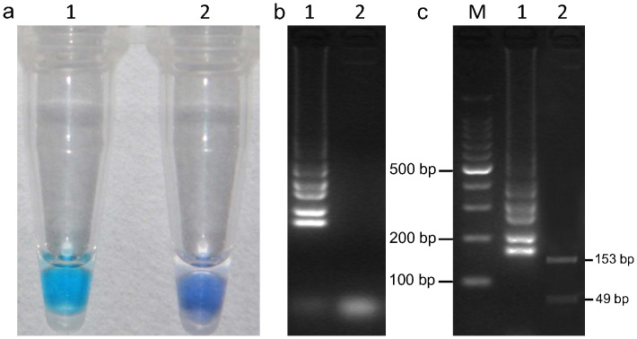 """LAMP detection of the Bcos5 gene in B. cinerea and digestion of positive LAMP products. (a) LAMP for detection of B. cinerea using HNB as a visual indicator. The reaction becomes sky blue if the Bcos5 gene is present but remains violet if the gene is absent; (b) Agarose gel electrophoresis of LAMP products. The positive reaction is manifested as a ladder-like pattern on the 3.0% agarose gel. In (a) and (b), the positive reaction (with target DNA) is labeled """"1″, and the negative reaction (without target DNA) is labeled """"2″; (c), LAMP products were digested with Kpn I, and two fragments (153 bp, 49 bp) were observed by 3.0% agarose gel. M = 100-bp ladder, 1, LAMP products without digestion; 2, LAMP products digested by Kpn I."""
