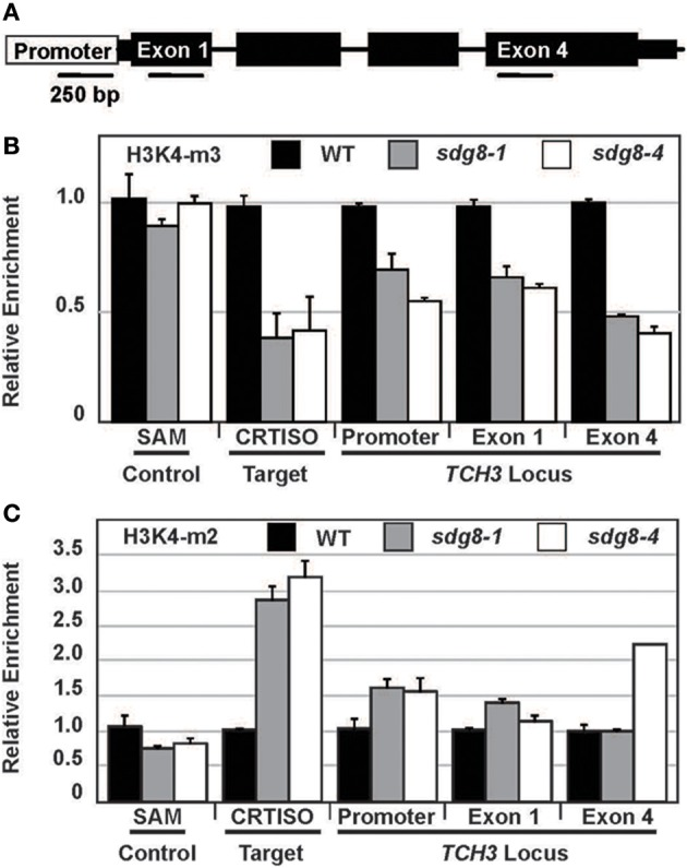 Relative enrichment of histone 3 lysine 4 methylation of chromatin surrounding the TCH3 locus in the sdg8 mutants. (A) The position of PCR amplicons used to quantify H3K4 methylation associated with the TCH3 locus is schematically represented. Primer sequences are presented in Supplemental Table 2 online. (B,C) The level of H3K4me3 (B) and H3K4me2 (C) surrounding TCH3 chromatin is presented as a ratio mutant/wild type, following normalization using a region of the house-keeping gene, S-ADENOSYL METHIONINE SYNTHASE (SAM). CRTISO was included as a positive control for H3K4 di- or tri-methylation activity. For most amplicons two biological and 3 technical repeats were performed, except for TCH3-exon2 where only a single biological repeat was successful. In all experiments there was an enrichment of at least 10 fold above the no antibody background.