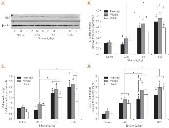 Comparison of the differences in the protein expression of (A) glutathione-S-transferase (GST) and (B) mRNA expression of interleukin-1β (IL-1β), (C) tumor necrosis factor-α (TNF-α), and (D) cyclooxygenase-2 (COX-2). Figure 3A shows the representative band indicative of changes in the expression of GST by western blot analysis. Figure 3B, C, and D show results obtained by extracting mRNA via reverse transcription-PCR assay to measure the expression of each gene. All results were obtained with 3 independent experiments and values are displayed as mean±SD. * and † indicate P