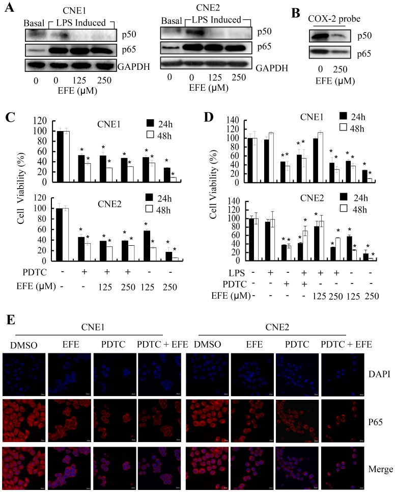 Effusanin E affects the activity of the NF-κB pathway. ( A ) Effusanin E inhibited the expression of p50 and p65. NPC cells were treated with DMSO (basal) or LPS (2 µg/ml) for 8 hours followed by effusanin E treatment at125 µM or 250 µM (EFE 125 µM or EFE 250 µM) for up to 24 hours. At the indicated time points, the cells were detected by Western blot analysis. ( B ) The binding of p50 and p65 NF-κB to the biotin-labeled, COX-2 promoter probe was analyzed by streptavidin-agarose pulldown assays, and the levels of p50 and p65 protein expression were detected by Western blot analysis. ( C ) The effect of effusanin E was inhibited by an inhibitor of NF-κB in NPC cells. NPC cells were treated with PDTC (100 µM) for 8 hours followed by effusanin E at 125 µM and 250 µM (EFE 125 µM or EFE 250 µM) treatment for up to 24 hours or 48 hours. At the indicated time points, the cells were analyzed using the MTS assay. ( D ) The effect of effusanin E was blocked by an activator of NF-κB. NPC cells were treated with LPS (2 µg/ml) or ammonium pyrrolidinedithiocarbamate (PDTC) (100 µM) for 8 hours followed by effusanin E at125 µM or 250 µM (EFE 125 µM or EFE 250 µM) treatment for up to 24 hours or 48 hours. At the indicated time points, the cells were analyzed using the MTS assay. ( E ) Analysis of the reduced nuclear translocation of NF-κB p65 by immunofluorescence imaging (IFI). CNE1 and CNE2 cells were treated with effusanin E at 125 µM (EFE) or PDTC (100 µM) or PDTC (100 µM) for 8 hours followed by effusanin E at 125 µM (PDTC + EFE), and NF-κB nuclear translocation in CNE1 and CNE2 cells was determined by immunofluorescence imaging analysis. * represent P