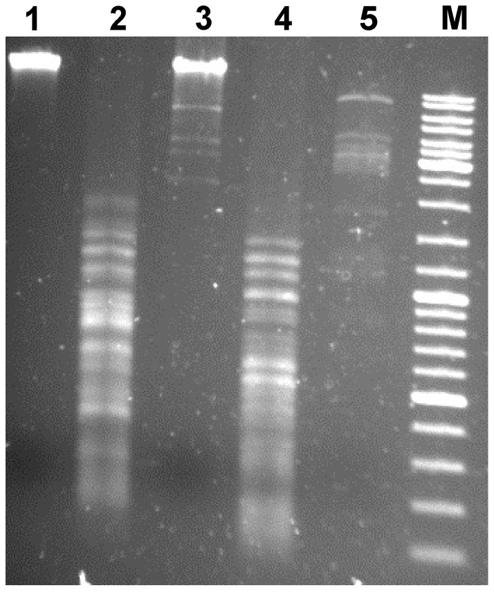 Restriction digestion patterns of phage ArV2 genomic DNA. Lanes: 1 – ArV2 gDNA (nonrestricted); 2 – EcoRII; 3 – NotI; 4 – MboI; 5 – BamHI; 6 – Marker GeneRulerTM DNA Ladder Mix (Thermo Fisher Scientific).