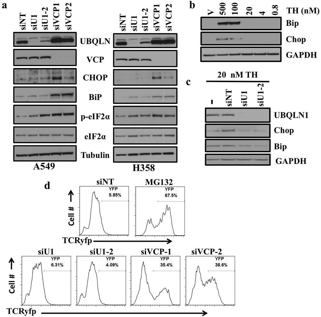 Loss of UBQLN1 does not induce ER stress or alter ERAD (a) Western blot analysis of proteins involved in unfolded protein response and ER stress response. Cells were transfected with either non targeting (siNT) siRNA or two different siRNAs targeting UBQLN1 (siU1 and siU2) and two different siRNAs targeting VCP (siVCP1 and siVCP2). After 72 hrs of transfection, cells were harvested and analyzed for protein expression. (b) Western Blot analysis of proteins involved in ER stress response. A549 cells were treated with vehicle or with indicated concentrations of Thapsigargin (TH). (c) Western Blot analysis of proteins involved in ER stress response. A549 cells were transfected with either non targeting (siNT) siRNA or two different siRNAs targeting UBQLN1 (siU1 and siU2). 48 hrs post siRNA transfections cells were treated with vehicle or with 20nM of Thapsigargin (TH) for 30 min and harvested 24 hrs later. (d) UBQLN1 loss does not alter ERAD. 293T cells stably expressing TCRyfp, a well-known ERAD substrate, were untreated (NT), treated with MG132, or transfected with the indicated siRNA. Cells were subjected to flow cytometry 24 hrs after MG132 treatment or 72 hrs post siRNA transfection to determine the intensity of yfp signal. MG132 treatment is used as a positive control, as ERAD is known to rely on the proteasome for destruction of substrates.