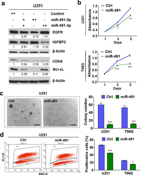 miR-491-5p and/or miR-491-3p directly target IGFBP2, CDK6, EGFR, and Bcl-xL and regulate GBM cell proliferation (a) miR-491-5p/miR-491-3p regulates IGFBP2, CDK6, EGFR, and Bcl-xL expression at the protein level. Beta-actin was used as a protein loading control. Each band's intensity was quantified by using Image J, and the relative values (beta-actin as internal control) were shown below the bands. +: 25nM; ++: 50 nM. (b) miR-491 inhibits glioma cell growth. Cell viability of U251 and T98G cells transfected with both miR-491-5p and miR-491-3p mimics or with control mimics was monitored by MTT assay (n = 6). (c) miR-491 inhibits soft agar colonization by glioma cell lines. Upon transfection, cells were seeded into the soft agar and the numbers of colonies were determined four weeks later (n = 3); representative colony morphologies of U251 are shown (n = 3). Bar: 200 μm. (d) miR-491 inhibits glioma cell proliferation. BrdU incorporation assay (n=3) was done seventy-two hours after transfection. Data are presented as mean ± SD (*, P