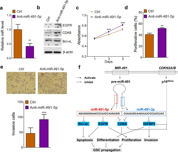 Knockdown of miR-491-5p exacerbates malignancy of Ink4a-Arf -null mouse glial progenitor cells (a) Knockdown efficiency of anti-miR-491-5p (hairpin inhibitor). Forty-eight hours after transfection with anti-miR-491-5p, miR-491-5p levels were assessed by quantitative PCR. (b) Anti-miR-491-5p upregulates mouse CDK6, EGFR, and Bcl-xL expression. Beta-actin was used as a protein loading control. Number below each blot indicates relative band intensity (quantified by Image J). (c) Anti-miR-491-5p promotes the growth of Ink4a-Arf -null mouse glial progenitor cells. Cell viability was monitored by MTT assay (n = 6). (d) Anti-miR-491 enhances cell proliferation. Proliferating cells were analyzed with BrdU incorporation assay seventy-two hours after transfection. (e) Anti-miR-491 promotes cell invasion. Invading cells were counted in ten randomly chosen fields under the microscope, with the representative photographs taken at 100 × magnification (n = 3). Data are presented as mean ± SD (*, P