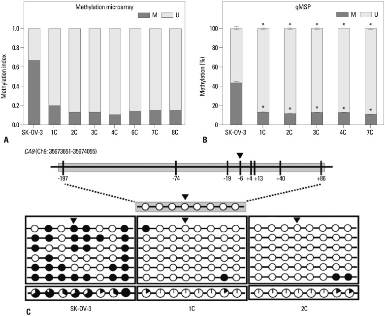 DNA methylation is altered at CpG sites in the CA9 promoter in metastatic implants from mouse xenografts. The DNA methylation status at the -6 CpG site was analyzed with the Illumina HumanMethylation 450 BeadChip (A) and qMSP (B). The DNA methylation status was analyzed by bisulfite sequencing (C). The CA9 promoter is located between positions 35673651 and 35674055 in the human GRCh37/hg19 assembly, and contains eight CpG residues on chromosome 9. The eight CpGs are at positions -197, -74, -19, -6, +4, +13, +40, and +86 relative to the transcription start site. Each circle represents a CpG dinucleotide. The methylation status of each CpG site is indicated with a black (methylated) or white (unmethylated) circle. The percentage of methylation at each site is indicated in a pie graph on the bottom line. The black segment of the pie graph indicates the percentage of methylated CpGs, whereas the white segment represents the percentage of unmethylated CpGs (C). Triangles above the circles in C indicate the specific CpG site that was used for qMSP. Statistical analyses were performed by one-way ANOVA and subsequent Bonferroni tests ( * p
