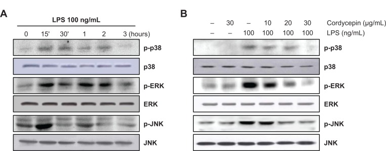 Effects of cordycepin on LPS-induced mitogen-activated protein kinase phosphorylation in RAW 264.7 macrophages. Notes: Cells were treated with 100 ng/mL LPS for the indicated times ( A ) or treated with different concentrations of cordycepin 1 hour before LPS treatment for 30 minutes ( B ). Total proteins were prepared and separated on 10% sodium dodecyl sulfate-polyacrylamide gels, followed by Western blotting using the indicated antibodies. Abbreviations: ERK, extracellular signal-regulated kinase; JNK, c-Jun N-terminal kinase; LPS, lipopolysaccharide.