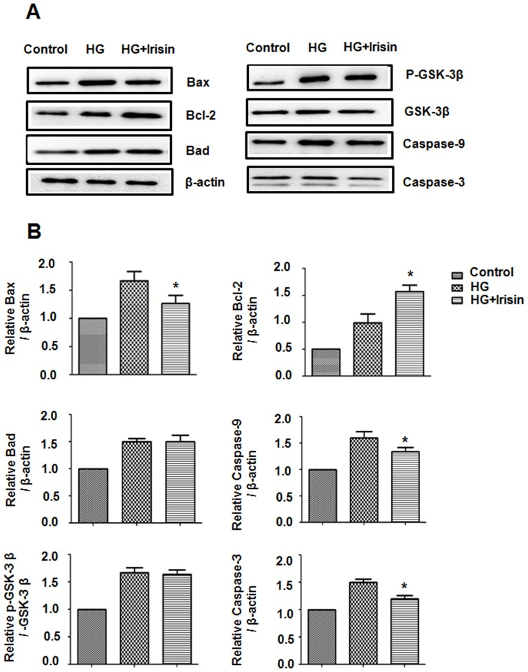 Irisin mediates Bax,Bcl-2,GSK-3β, Caspase-9 and Caspase-3 protein levels in HUVECs. HUVECs were cultured with or without irisin (20 nM) for 24 h. Bax, Bcl-2, Bad, GSK-3β, Caspase-9 and Caspase-3 in cell lysates were analyzed by Western blot. (B) Densitometric analysis of the related bands was expressed as the relative optical band density and was corrected using respective total proteins as loading controls and normalized against the untreated control. The data were expressed as the mean ± SE of three independent experiments, *p