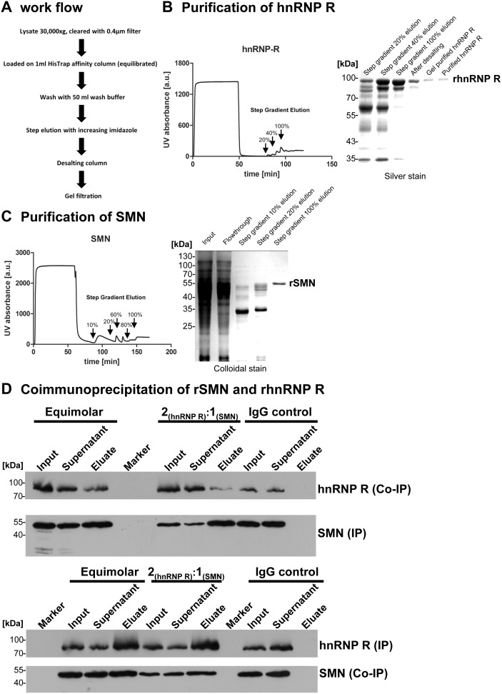 Direct interaction of hnRNP R and SMN. (A) Purification scheme of recombinant hnRNP R and SMN expressed as His-tagged proteins in E. coli strain BL21. (B) Affinity purification profile on a fast protein liquid chromatography (FPLC) of hnRNP R and SDS-PAGE of recombinant hnRNP R purification steps visualized by silver staining. (C) Affinity purification profile on a FPLC of SMN and SDS-PAGE of recombinant SMN purification steps visualized by colloidal staining. (D) Coimmunoprecipitation of recombinant SMN and hnRNP R.