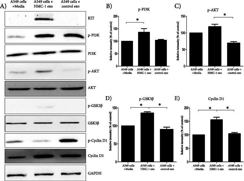 Mast cell-derived exosomes can activate the KIT-SCF signaling pathway in A549 cells. A549 cells treated with exosomes from control cells (HEK 293) or HMC-1 cells were analyzed using Western blot. Phosphorylated and total PI3K, AKT, GSK3β and cyclinD1 were measured by Western blot and to normalize protein loading, samples were also probed for GAPDH. (A) . Relative intensity was calculated as follows for p-PI3K (B) , p-AKT (C) and p-GSK3β (D) ; (phosphorylated protein/GAPDH)/(total protein/GAPDH), and for cyclin D1 (E) ; cyclin D1/GAPDH. All the above data are representative of three independent experiments (n =3). *P