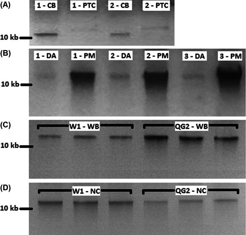 Gel comparison of various blood genomic DNA extraction methods ( A ) Comparison of column-based and salt-precipitation blood extraction methods. Numbers denote the volunteer for the finger-prick blood samples. CB, column-based blood extraction; PTC, salt-precipitation blood extraction protocol. ( B ) Comparison of premixed with W1, and direct application of cell lysate column-based blood extraction methods. Numbers denote the volunteer for the finger-prick blood samples. DA, direct application of cell lysate on column; PM, buffer W1 premixed with cell lysate prior to application on column. ( C ) Comparison of buffer W1 and QG2 on whole blood column-based extraction method. W1-WB, whole blood column-based extraction method premixed with buffer W1; QG2-WB, whole blood column-based extraction method premixed with buffer QG2, Extractions were carried out in triplicates. All DNA concentrations determined using <t>IMPLEN</t> <t>Nanophotometer</t> <t>P330</t> were significantly different between groups in independent T test ( t (16)=6.75; P =0.000), ( D ) Comparison of buffer W1 and QG2 on nucleated blood column-based extraction methods. W1-NC, nucleated blood column-based extraction method premixed with buffer W1, QG2-NC, nucleated blood column-based extraction method premixed with buffer QG2. Extractions were carried out in triplicates. All DNA concentrations determined using IMPLEN Nanophotometer P330 were significantly different between groups in independent T test ( t (16)=6.32; P =0.000), 20 μl of DNA extracted were mixed with 6× loading dye and loaded on a 1% (w/v) TAE (Tris/acetate/EDTA) agarose gel. Samples were electrophoresed and visualized in RunVIEW by Cleaver Scientific. *Spectrophotometer readings were not shown as the majority were not detectable.