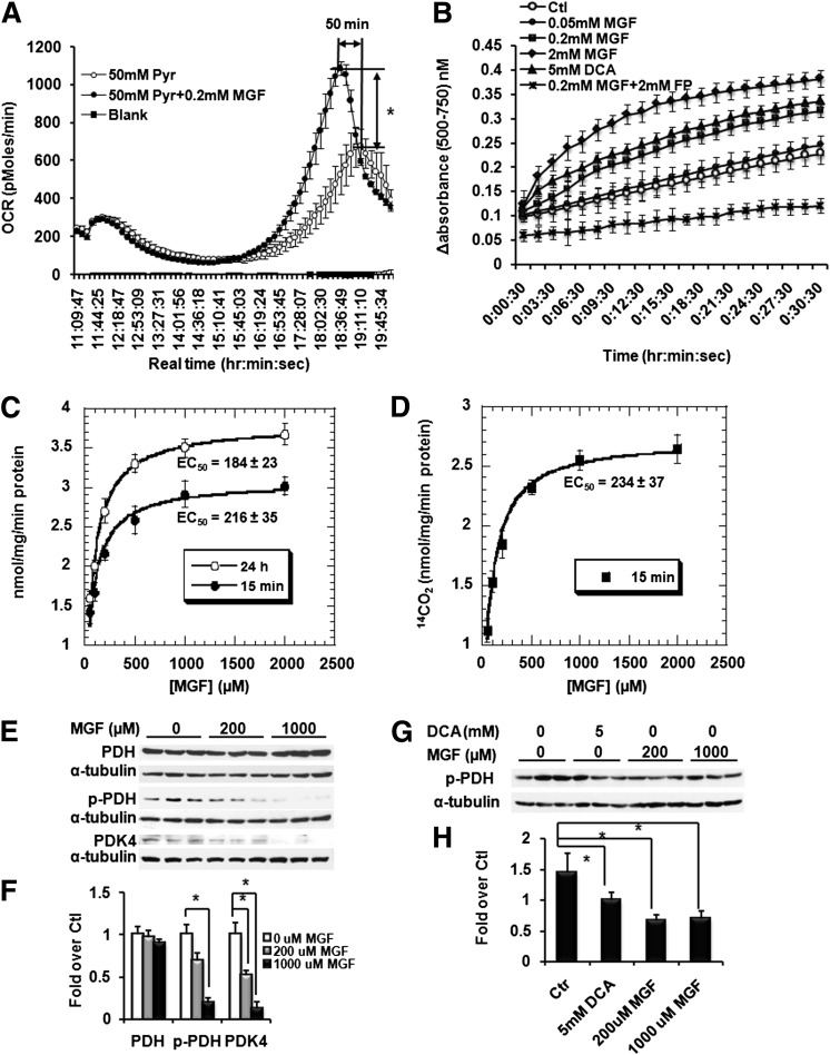 MGF enhances pyruvate oxidation by activating PDH. A : Pyruvate oxidation in myotubes differentiated from C2C12 cells measured by Seahorse Bioscience Metabolic Flux analysis. Myotubes differentiated from C2C12 cells in XF24 microplates were incubated overnight in glucose-free and sodium pyruvate–free DMEM, with and without 200 μmol/L MGF. OCR was recorded after injection of sodium pyruvate into wells, with or without 200 μmol/L MGF. B : PDH activities measured as the difference between absorbances at 500 nm and 750 nm at 25°C in mitochondrial protein from C2C12 myotubes treated with various concentrations of MGF for 24 h or 15 min or with 5 mmol/L DCA or FP + 200 μmol/L MGF for 15 min. C : Initial rates of PDH-catalyzed pyruvate oxidation measured as the difference between absorbances at 500 nm and 750 nm in mitochondrial protein from C2C12 myotubes treated with various concentrations of MGF for 24 h or 15 min. The unit of activity was determined by using extinction coefficient of reduced p-iodonitrotetrazolium violet (12.4 mmol ⋅ L −1 ⋅ cm −1 ). D : Initial rates of PDH catalyzed [ 14 C]-labeled pyruvate oxidation measured as the production of 14 CO 2 by mitochondrial protein from C2C12 myotubes treated with various concentrations of MGF for 15 min. E : Western blots of proteins extracted from C2C12 myotubes treated with 200 or 1,000 μmol/L MGF for 15 min and 24 h. Membrane was blotted with PDH (1:250 dilution; Cell Signaling), p-PDH (1:2,000; Abcam), PDK4 (1:500; laboratory of Dr. Robert Harris at Indiana University School of Medicine), or α-tubulin (1:2,000; Sigma-Aldrich) at 4°C overnight. F : Quantitative analysis of Western blots shown in E . G : Western blots of proteins extracted from C2C12 myotubes treated with 200 or 1,000 μmol/L MGF or 5 mmol/L DCA for 15 min. H : Quantitative analysis of Western blots shown in G . Values are average ± SEM. * P