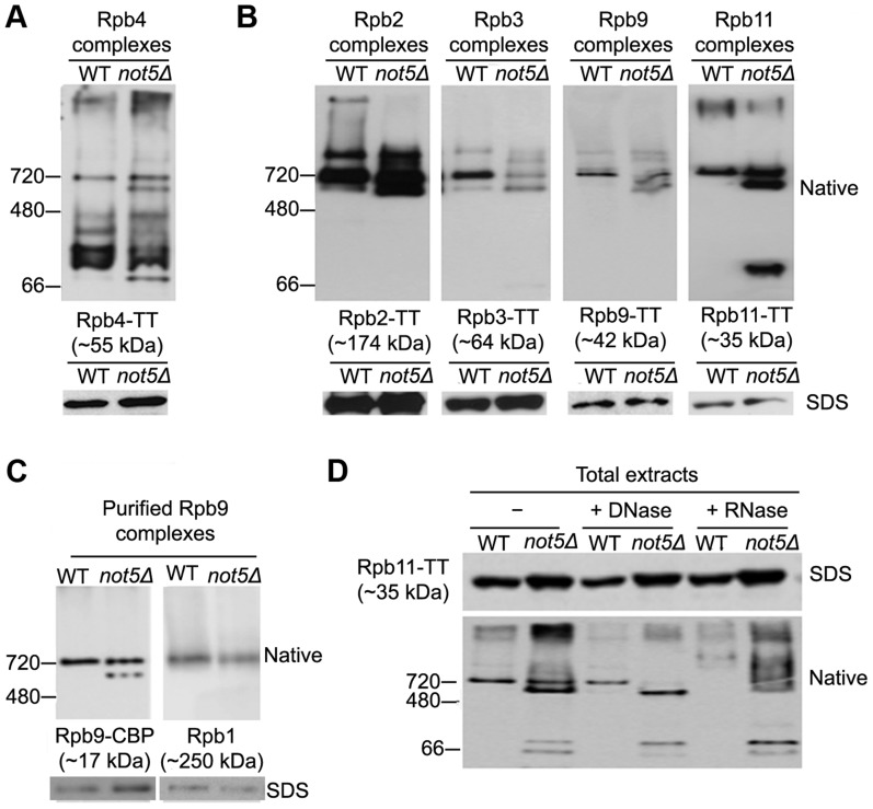 Polymerase sub-complexes lacking Rpb1 accumulate in not5Δ . A and B . Total extracts from cells expressing the indicated Tap-tagged (TT) polymerase subunits were separated on native gels (upper panels) or SDS-PAGE (lower panels) and analyzed by western blotting with anti- CBP antibodies. C . Rpb9-TT was purified by single step affinity and the purified proteins were analyzed on native gels (upper panels) or SDS-PAGE (lower panels) and western blotting with anti-CBP antibodies (left panel) or anti-Rpb1 antibodies (right panel). D . Total extracts from cells expressing Rpb11-TT were either untreated (-) or treated with DNase or RNase as indicated and separated by Native-PAGE, and analyzed by western blotting with PAP antibodies.