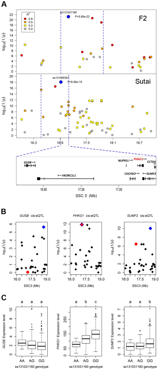 Prioritizing candidate genes by the colocalization between pQTL and eQTL. (A) Regional association plots with residual glycogen content in longissimus muscle from the F 2 (top panel) and Sutai (bottom panel) populations. The top pSNPs ss131031160 (F 2 ) and ss131565361 (Sutai) are highlighted by blue dots. Different levels of linkage disequilibrium (LD) between the top SNPs and surrounding SNPs are indicated by different colours. The QTL intervals indicated by blue dash lines were obtained by the 2-LOD drop method. Their overlapping region spans 180 kb and contains 7 annotated genes. (B) Manhattan plots for the genome-wide cis-eQTL analysis of three candidate genes GUSB (left), PHKG1 (middle) and SUMF2 (right) in the F 2 population. The blue diamonds represent the top cis-eSNPs, while the red dot represents the top pSNP ss131031160 in the same population. (C) Box plots showing the differences in gene expression level determined by the digital gene expression (DGE) system among three genotypes of the ss131031160 SNP. Different letters above each box plot denote significant differences ( P