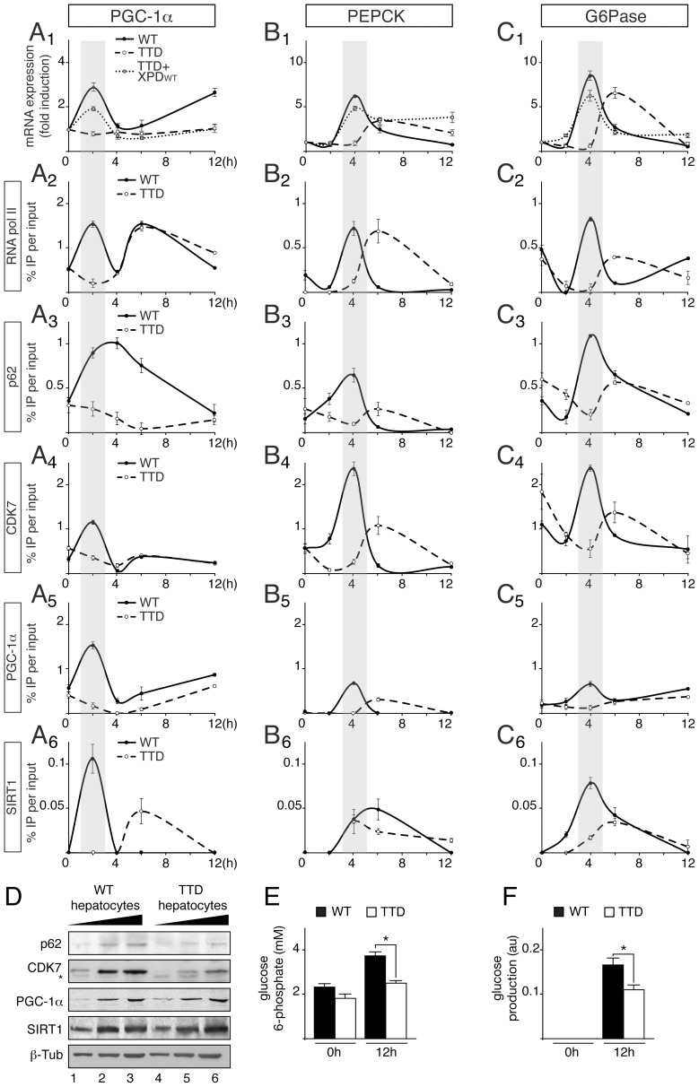 Defective recruitments of transcription factors on the promoter of gluconeogenic genes in TTD hepatocytes. Expression of Pgc-1α ( panel A1 ) Pepck ( panel B1 ) and G6Pase ( panel C1 ) genes in WT (solid curves), TTD (dashed curves) and TTD overexpressing XPDwt (dotted curves) hepatocytes after pyruvate treatment. The results are presented as n-fold induction relative to non-treated cells. Recruitment of RNA pol II, p62, CDK7, PGC-1α and SIRT1 on the proximal promoter of PGC-1α ( panels A2 to A6 ), PEPCK ( panels B2 to B6 ) and G6Pase ( panels C2 to C6 ) in WT (dotted curves) and TTD (dashed curves) hepatocytes. The results of three independent experiments are presented as percentage of DNA immunoprecipitated relative to the input. The shaded areas underline the concomitant recruitments of the transcription factors with the expression profile of the target genes in WT hepatocytes. ( panel D ) Western blot analyses of TFIIH, illustrated by its p62 (62 kDa) and CDK7 (39 kDa) subunits, PGC-1α (110 kDa) and SIRT1 (110 kDa) with increasing amounts of whole cell extracts isolated from WT (lanes 1–3) and TTD (lanes 4–6) hepatocytes. β-tubulin (β-Tub, 50 kDa) has been used as an internal control. * indicates unspecific band. Measurement of intracellular glucose 6-phosphate ( panel E ) and glucose output ( panel F ) levels from WT (black boxes) and TTD (open boxes) hepatocytes after 0 and 12 hours of pyruvate treatment. Values represent the means ± SEM. The statistical symbols reflect significant differences between genotypes (*, p
