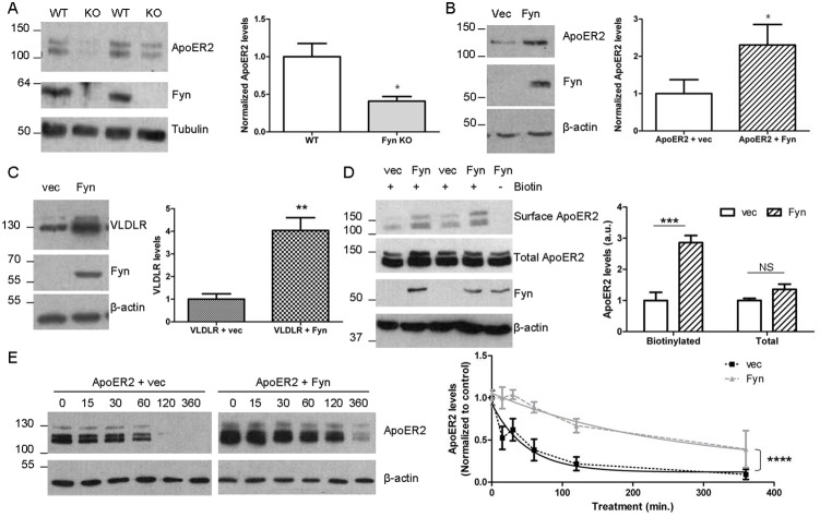 Fyn increases ApoER2 levels. A. Brains from 3 week old wild-type (WT) and Fyn knock-out (KO) mice were homogenized in RIPA buffer and analyzed for ApoER2, Fyn, or β-tubulin by immunoblot. ApoER2 levels were normalized to β-tubulin. * p