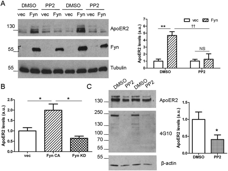 Fyn's effects on ApoER2 levels depend on Fyn's kinase activity. A. COS7 cells were co-transfected with ApoER2 and either Fyn or empty vector and treated with PP2 or DMSO (control) for 6 hours. Lysates were collected in RIPA buffer, Western blotted and probed for ApoER2, Fyn, and tubulin. ** p