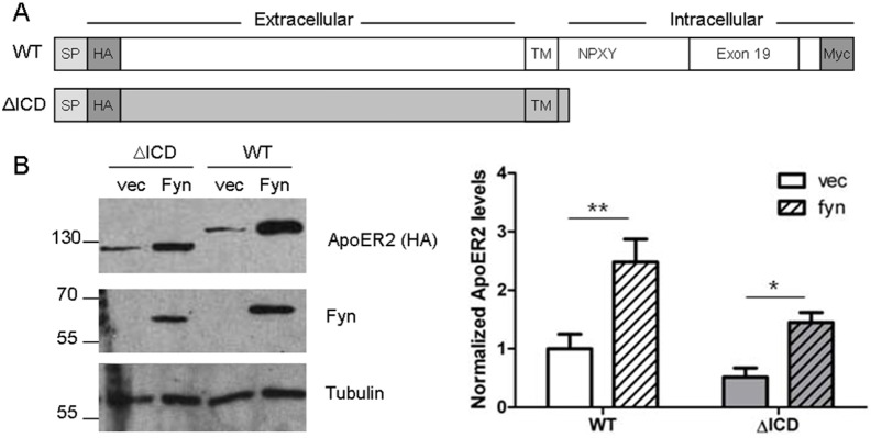 ApoER2 levels increase independently of the intracellular domain of ApoER2. A. Schematic of tagged ApoER2 constructs. Wild-type (WT) murine ApoER2 with both an N-terminal HA tag and a C-terminal myc tag. ΔICD is missing amino acids 731–841 and the myc tag. SP: Signal peptide. B. COS7 cells were co-transfected with either ApoER2 WT or ΔICD and either Fyn or empty vector. Lysates were collected in RIPA buffer and analyzed for HA, Fyn, and Tubulin. * p