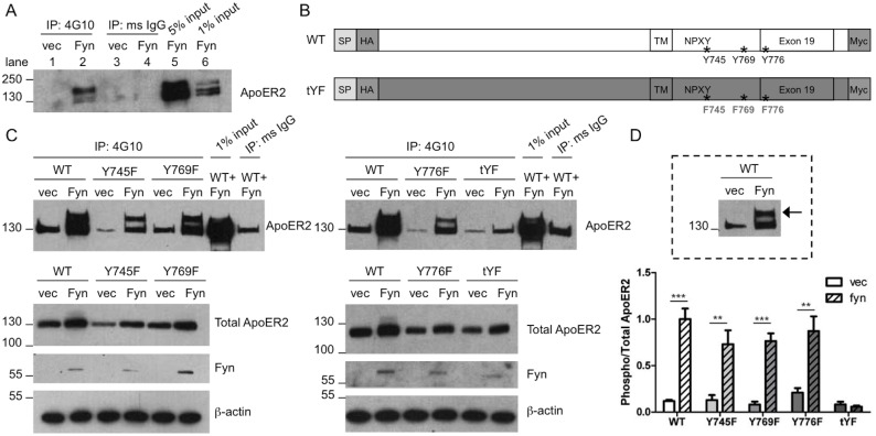 Fyn phosphorylates ApoER2. A. COS7 cells were co-transfected with untagged ApoER2 and Fyn or empty vector. Lysates were collected in IP buffer and immunoprecipitated (IP) with either 4G10 or mouse IgG, and analyzed for ApoER2. Input refers to the starting material that was not subjected to IP. Lane numbers are indicated for clarity. B. Schematic of WT ApoER2 and the mutant with all three intracellular tyrosines mutated to phenylalanines (tYF). The signal peptide (SP), N-terminal HA tag, and C-terminal myc tag are indicated. C. COS7 cells were co-transfected with different ApoER2 mutants (2 single mutants on left, 1 single mutant and triple mutant on right) and Fyn or empty vector and immunoprecipitated as in A, and analyzed for myc. Below are Western blots showing total levels of ApoER2, Fyn, and β–actin. D. Quantification of the upper-phosphorylated ApoER2 band (indicated by arrow in boxed example) over total ApoER2 from C. ** p