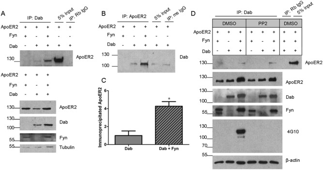 Fyn increases the interaction between ApoER2 and Dab1. COS7 cells were co-transfected with double-tagged ApoER2 and either Fyn, Dab1, or Fyn and Dab1 and lysates collected in IP buffer after 20 hours. A. Lysates were immunoprecipitated (IP) with either GFP (for Dab1) or rabbit IgG, run on a Western blot, and probed for HA (for ApoER2). Input refers to the starting material that was not subjected to IP. Below are Western blots showing total levels of ApoER2, Dab1, Fyn, and Tubulin. B. The lysates used in A were precipitated with either HA (for ApoER2) or mouse IgG, and analyzed for Dab1-GFP. C. Quantification of lanes 2 and 3 from A. * p