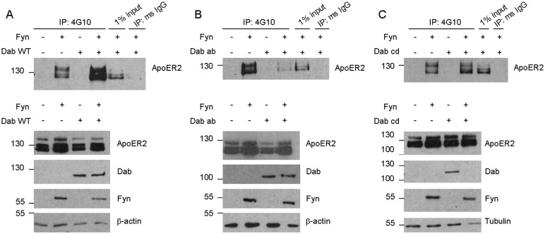 Fyn phosphorylation of ApoER2 is increased in the presence of Dab1. A. COS7 cells were transfected with untagged ApoER2 and either empty vector, Fyn, Dab1-WT, or Fyn and Dab1-WT together. Lysates were collected in IP buffer and immunoprecipitated (IP) with either 4G10 or mouse IgG, run on a Western blot, and probed for ApoER2. Input refers to the starting material that was not subjected to IP. Below are Western blots showing total levels of ApoER2, Dab1, Fyn, and β–actin. B–C. COS7 cells were transfected and analyzed as in A, but with Dab1-ab (B) or Dab1-cd (C) instead of Dab1-WT.
