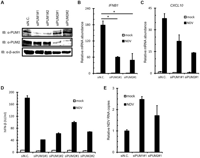 Knockdown of PUM1 and PUM2 downregulates NDV-induced gene activation. (A–C) HEK293T cells were transfected with control siRNA (siN.C.) or siRNA targeting human PUM1 or PUM2 for 48 h. Knockdown efficiency was confirmed by immunoblotting with anti-PUM1, anti-PUM2 and anti-β-actin antibodies (A). The cells were infected with NDV for 9 h, and IFNB (B) and CXCL10 (C) mRNA levels were determined by quantitative RT-PCR. (D and E) HEK293T cells were transfected with control siRNA or siRNA targeting PUM1 or PUM2 for 48 h. The cells were infected with NDV for 24 h. The culture media were collected and subjected to IFN-β ELISA (D). Total cellular RNA was extracted and subjected to qRT-PCR for NDV RNA (E). Data are from one representative of at least two independent experiments; means and S.D. of duplicate experiments are shown (*p