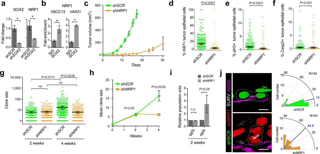 NRP1 expression is regulated by SOX2 and required for SCC growth (a) qRT-PCR analysis of SOX2 and NRP1 on human SCC13 cells transduced with shSCR and shSOX2. (b) qRT-PCR analyses on chromatin samples from cultured human SCC13 and A431 cells after immunoprecipitation with anti-Sox2 and IgG control antibodies. (a–b) Bar graphs show mean with error bars indicating ± s.d (n=3, *P