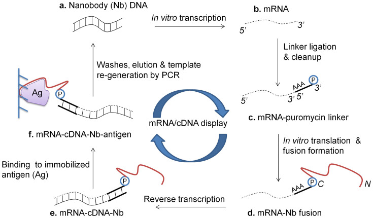 Schematic for mRNA/cDNA display of Nbs. (a) Nb-encoding DNA is in vitro transcribed to (b) mRNA, and (c) ligated to a 3′ puromycin (P) containing DNA linker. (d) Following in vitro translation and fusion formation, (e) reverse transcription is performed to synthesize cDNA. (f) mRNA-cDNA-Nb complexes are exposed to the antigen (Ag) of interest, which is immobolized on a solid-phase affinity matrix. Following washes and elution, PCR is performed to retrieve full-length Nb-encoding amplicons (N/C – N- C-termini of displayed Nb).