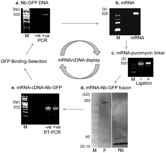 mRNA/cDNA display of Nb-GFP. (a) Nb-GFP-encoding DNA 12 was in vitro transcribed to (b) mRNA, and (c) ligated to a 3′ puromycin (P) containing DNA linker. The shift in molecular weight was tracked on an agarose gel. (d) In vitro translation resulted in displayed mRNA-Nb-GFP covalent fusions (F), detected on a western blot by an increase in molecular weight to ~170 kD, v/s non-displayed Nb-GFP (~15 kD). (e) Fusions (+ve) or untranslated ligations (−ve) were reverse transcribed and (f) binding-selection was performed on Ni-NTA-immobilized purified GFP protein. Binder Nbs were eluted, and sequences were regenerated using PCR. The absence of PCR product from –ve control demonstrates successful antigenic selection. (M – molecular weight markers).