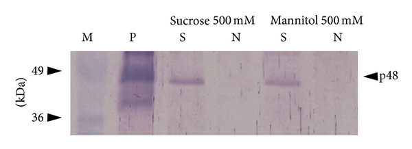"""Western blot analysis of S-HBsAg in freeze-dried tissue using the specific <t>polyclonal</t> antibody. Lanes: M—protein molecular weight marker (MBI Fermentas), P—S-HBsAg positive control (Meridian Life Sciences). """"S"""" and """"N"""" analysed freeze-dried transgenic lettuce containing S-HBsAg and nontransgenic plant (negative control), respectively, soaked with a given excipient, p48—S-HBsAg dimer."""